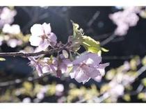 2月ごろに咲く河津桜。