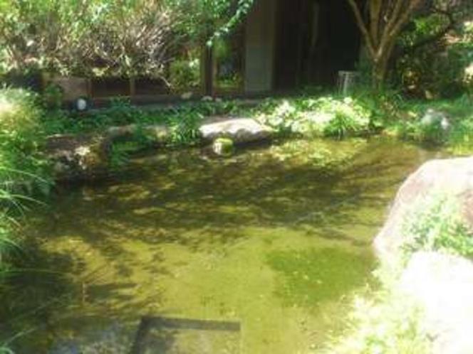 7月の庭の池。珍しい「もりカエル」のオタマジャクシも見られます。