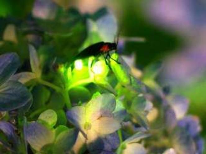 6月〜7月中旬まで当館の庭でホタルを見ることができます。