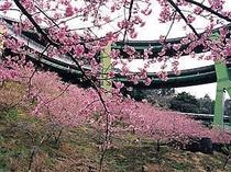 七滝ループ橋からの眺め(早咲きの河津桜まつりは毎年2月〜3月)