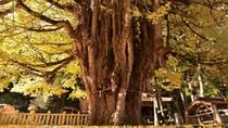 【筒賀の大銀杏】紅葉の見頃は11月中旬頃。あたり一面黄金色に染まります。