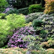 数十本の石楠花が咲き乱れます。