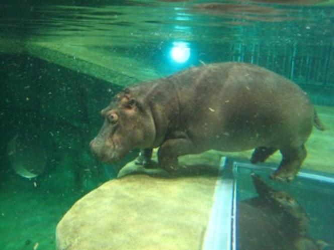 旭山動物園の人気者カバの百吉くん