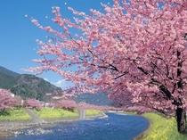 【春】ポカポカの伊豆は河津桜をはじめ、ひと足先に春が訪れますよ♪