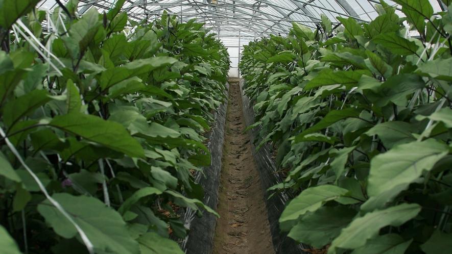 *愛情たっぷり!夏野菜の茄子を作っています。
