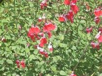 セージの花(紅白)