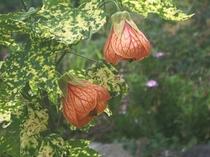 アブチロンの花(オレンジ)