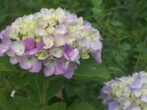 紫陽花の咲き始め