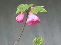 アブチロンの花(ピンク)