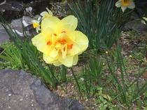 水仙の変わり咲き