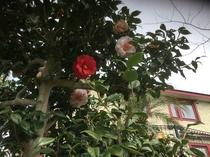 錦咲きの椿