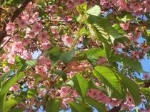 河津桜も葉桜になる頃