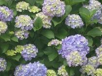 パウダールームから紫陽花のお花見!