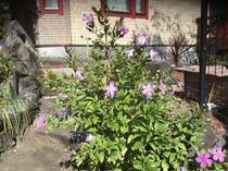 庭のリトルエンジェルの花