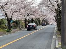 2021年3月 桜並木の桜のトンネル