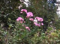 秋・・石垣に咲く小菊