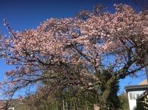 当館近く里山の寒桜