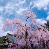 **【身延山久遠寺のシダレザクラ】淡いピンクの花をつけ、大きく垂れ下がる様子は大変見事です。