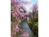 花の都公園の桜