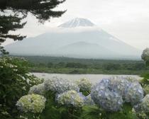 精進湖とアジサイと富士山
