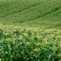 北落合のトウモロコシ畑