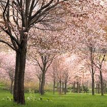 金山ダム下公園の桜 5月下旬