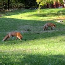 ラーチ周辺で生息している野生動物 キタキツネ
