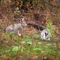 ラーチ周辺に生息する野生動物 エゾユキウサギ