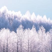 カラマツの霧氷
