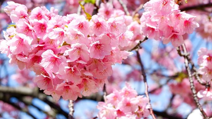 【早割60】河津桜まつり◆今年もやってきました≪桜の舞≫河津桜を特別な会席と共に楽しむ・。*
