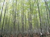 安比のブナ林はマイナスイオンたっぷり