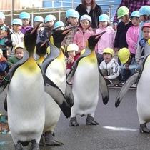 【越前松島水族館】ペンギンのお散歩