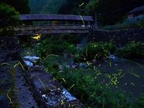 龍王橋のゲンジボタル