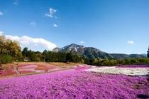 芝桜の花♪
