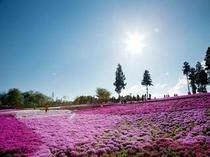 芝桜と青空と♪