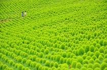 緑が美しい紅葉前の夏のコキア(ひたち海浜公園)