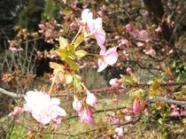 トィンクルの河津桜