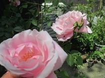 トィンクルのバラ