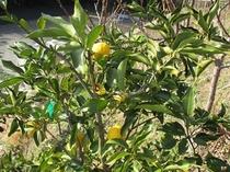 トゥインクルの花柚子