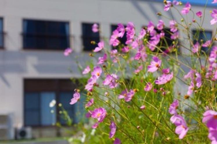 秋桜(コスモス)の美しさ