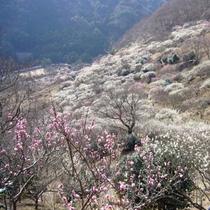 【梅の宴】~湯河原梅林~ 当館より約6㎞ 約4,000本の紅梅・白梅が咲き誇ります