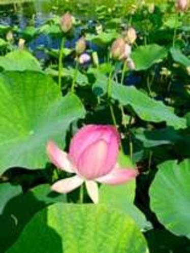 ☆蓮の花☆
