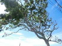 ●目印の大木
