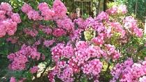 *【カルミア】1年を通していろいろな種類の花が咲きそろいます。