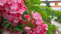 *【カルミア】1年を通していろいろな種類の花を楽しめます。