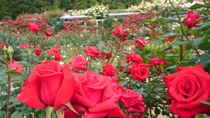 *【バラ園】初夏と秋に200種2000株のバラが咲き誇ります。