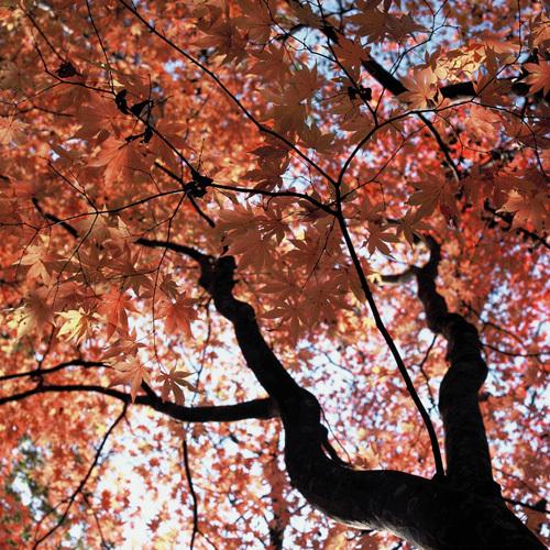 美しい紅葉のもみじ