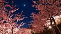 <河津桜まつり>例年2/10~3/10に開催されます。