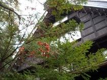 玄関前の「いちい」の木(11月20日撮影)