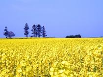 【菜の花畑】空の青と菜の花の黄色。コントラストが絶景です。